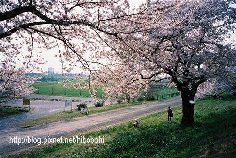 喜歡這張有故事的照片,還有櫻花花瓣入鏡呢!