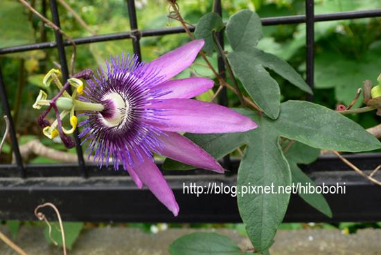 這花長的有點噁,他的花瓣是反著花蕊生長。