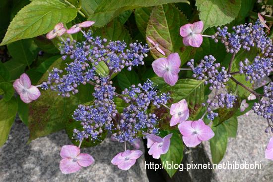 黑姬紫陽花