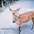 這隻班比應該是懷孕了,脖子上的標記是奈良之鹿愛好協會的人弄上去的