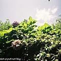 我喜歡紫陽花葉子疊在一起的光影
