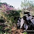 """左邊那黑黑的植物名為Colocasia esculenta """"Black Magic"""" ,查了之後發現它居然是サトイモ,怎麼顏色那麼噁呀!"""
