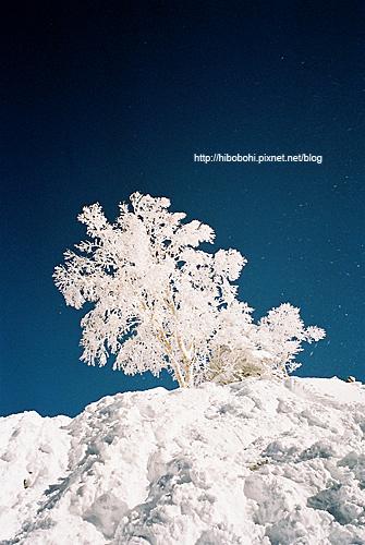 藍天上沒有任何一片白雲,所以更顯愛情樹的雪白。