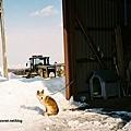 這裡的狗狗就算下雪也不穿衣服,真的不冷嗎?
