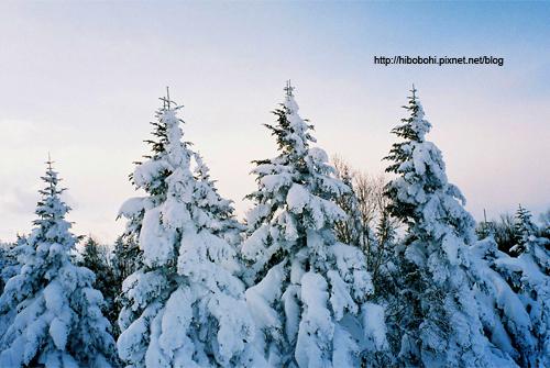 松樹頂端呈現出白雪十字模樣,相當特殊。