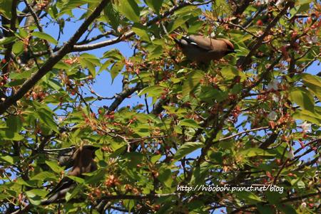 小太平鳥根本不怕人,一直飛到我眼前給我拍照咧!