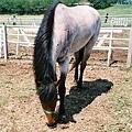 馬兒低頭吃草