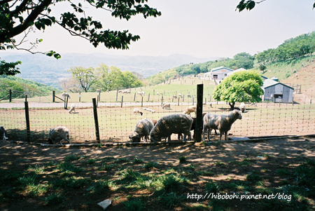 羊兒低頭吃草