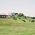 這幾張照片是拍覺感覺的,所以入鏡的乳牛都很小一隻。