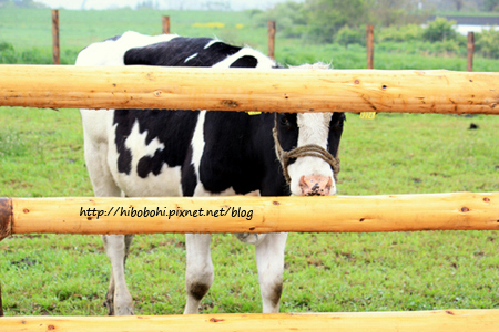 我是荷仕登乳牛!