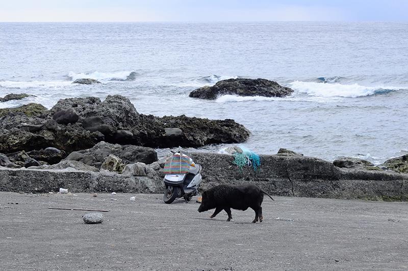 蘭嶼山豬很大
