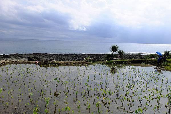 蘭嶼水芋田