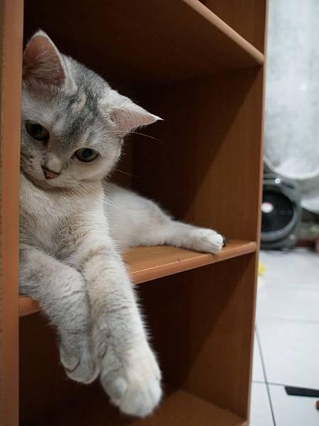 櫃子貓─豆豆