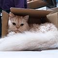 球球很喜歡紙箱
