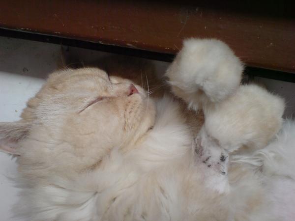 球球貓睡覺