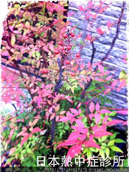 住家門口的紅葉變色