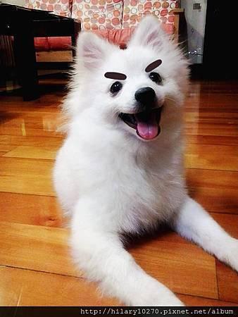 銀狐犬-波波