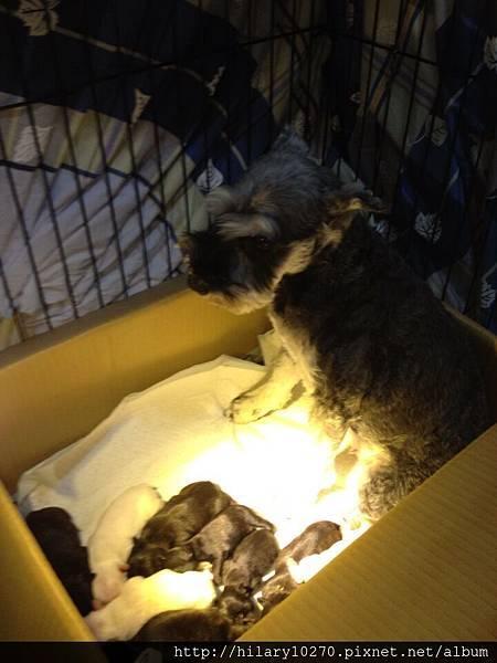 貓咪跟妮妮(雪納瑞)幫忙照顧,寶寶肚子餓了,家中其他貓寶貝狗寶貝會叫我們快餵奶