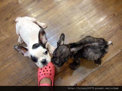 一包被丟棄的母狗加小狗,KIKI與MIUMIU半身不遂僥倖活下來勇敢姐妹。