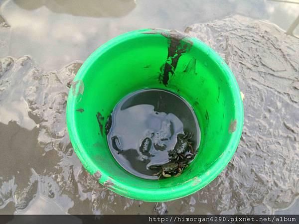 高美溼地螃蟹