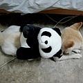 小香給柴柴背我的熊貓背包