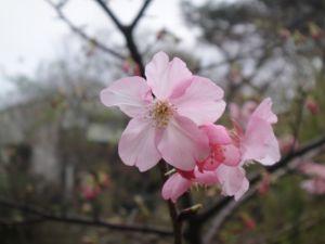 玻工館和麗池賞櫻花(101.2.12)