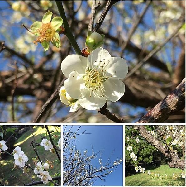 梅園賞花,與國中同學話當年(109.1.2)