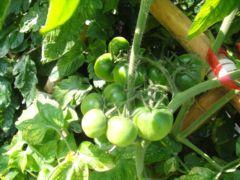 豐收的小番茄和桑椹(100.4.27)