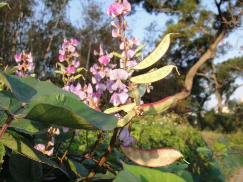美麗的扁豆花(98.11.14)