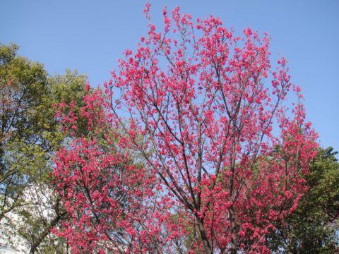竹科賞櫻花(100.2.28)