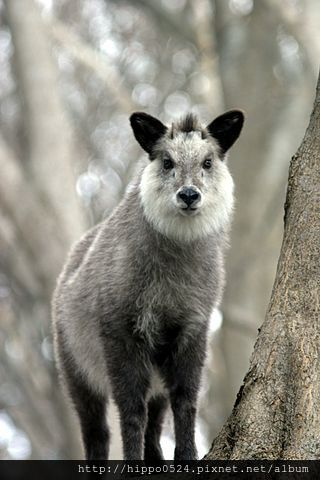 320px-Japanese_Serow_Wakinosowa_Japan