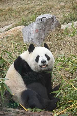 貪吃的熊貓