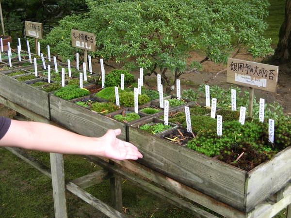 銀閣寺重要的苔蘚們