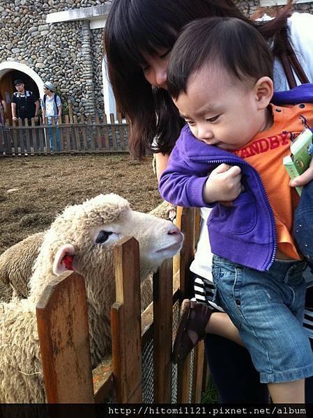 2011.5.29綿羊第一次接觸-2.jpg