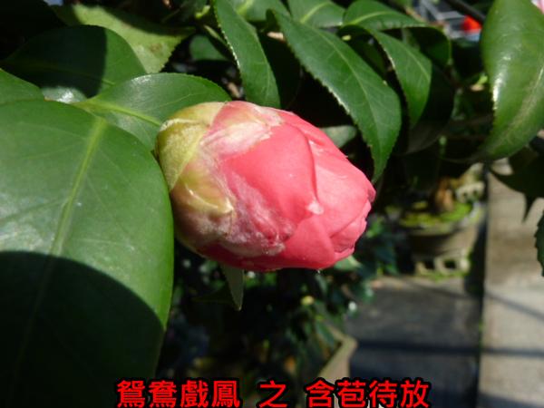 011-鴛鴦戲鳳之苞.JPG