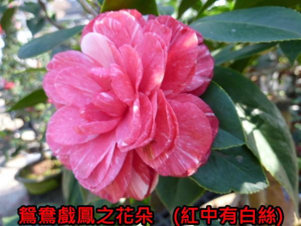 009-鴛鴦戲鳳之花.JPG