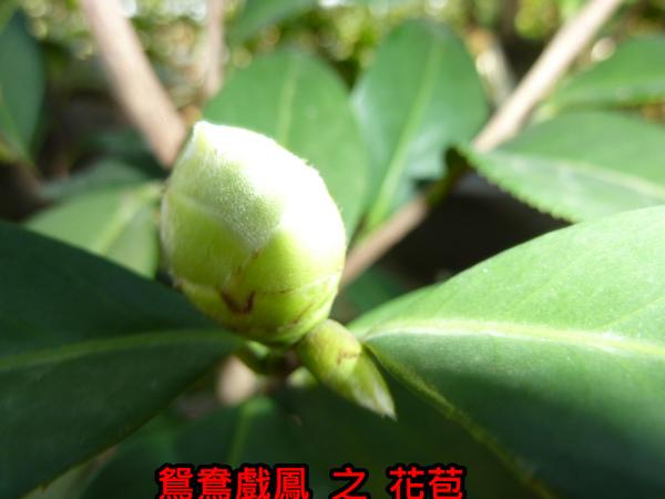 010-鴛鴦戲鳳之苞.JPG