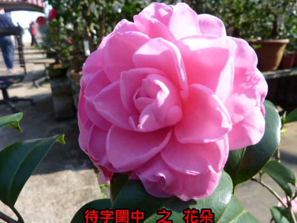 016-天香(花).JPG