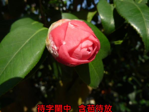 017-天香(苞).JPG