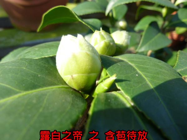 014-露白之帝之苞.JPG