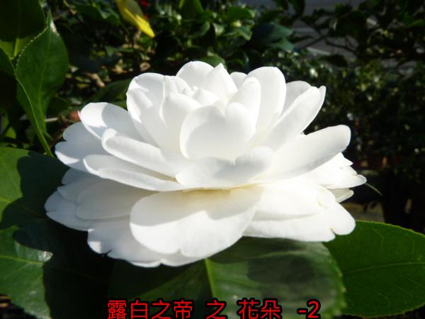 014-露白之帝之花.JPG