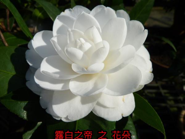 013-露白之帝之花.JPG