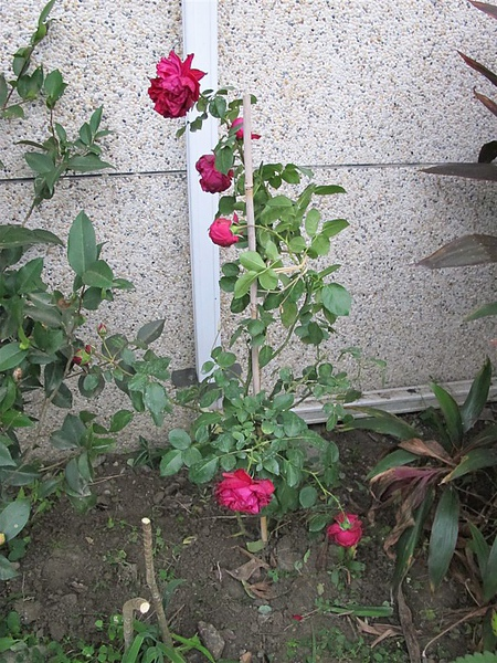 Rose 041.jpg