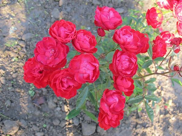 Rose 004.jpg