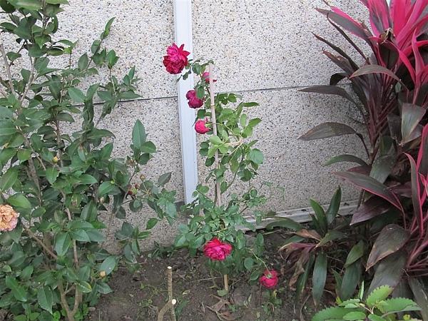 Rose 042.jpg