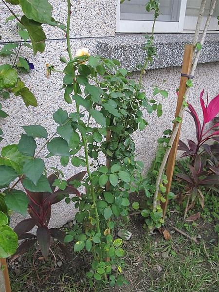 Rose 040.jpg