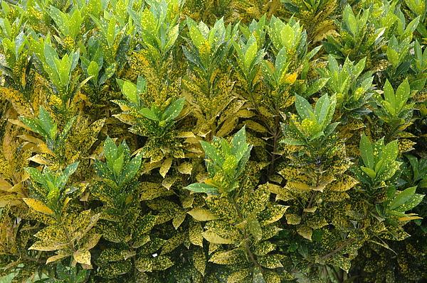 變葉木─葉片小且有黃斑點.JPG