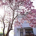 紫花風鈴木