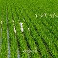 鴨間稻-100.jpg