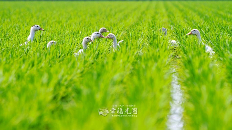鴨間稻-113.jpg